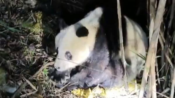 四川一只十多岁野生大熊猫经救治无效死亡,被发现时鼻涕不止